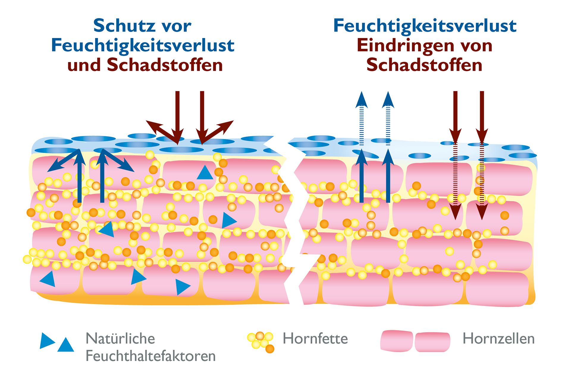 Der Hydrolipidfilm auf der Haut schützt die Haut vor dem Austrocknen
